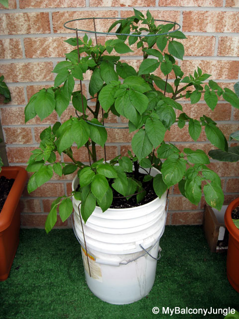 Self watering bucket of potatoes