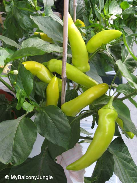 Container Grown Hungarian Hot Wax Peppers